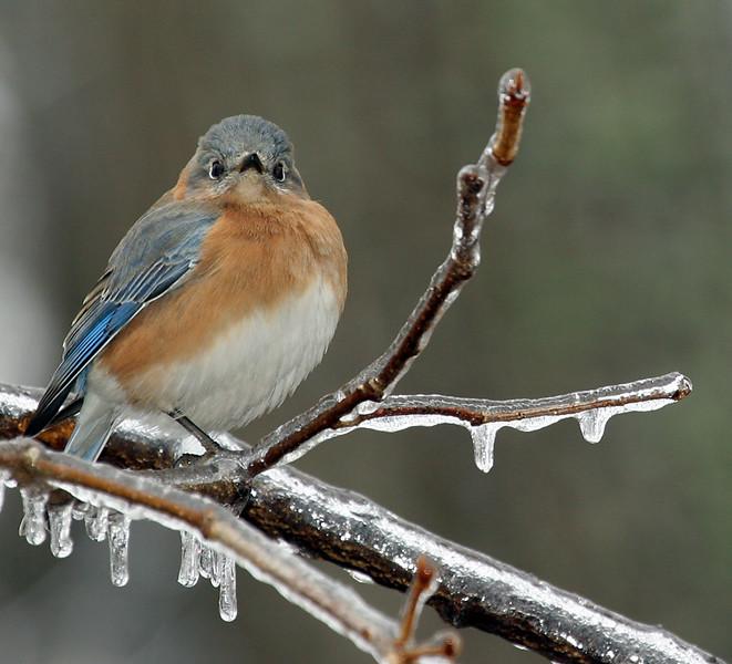 eastern-bluebird_2697745753_o.jpg