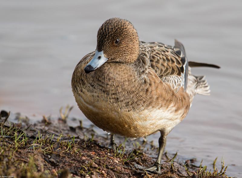 Wigeon - Female
