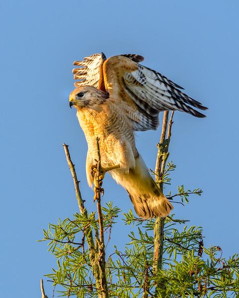 Harrier Hawk in the Wind