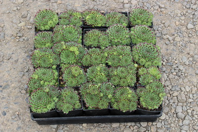 Groundcover Flats