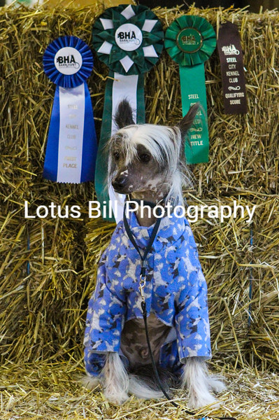 Chinese Crested (25 of 30).jpg