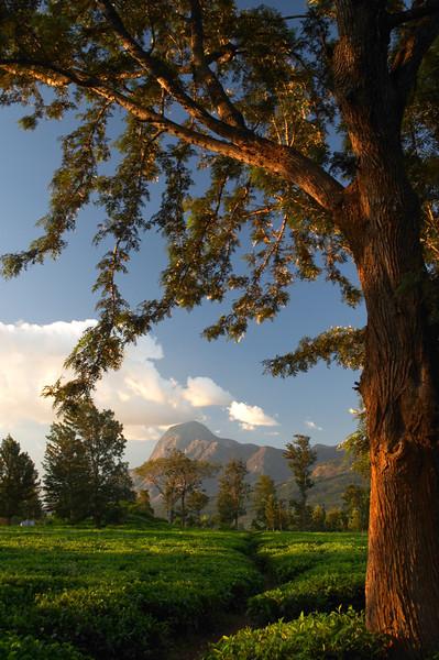 Mulanje - Tree and Chambe at Sunset - 7963.jpg