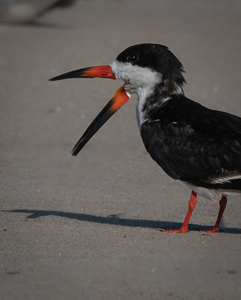 Black Skimmer open mouth