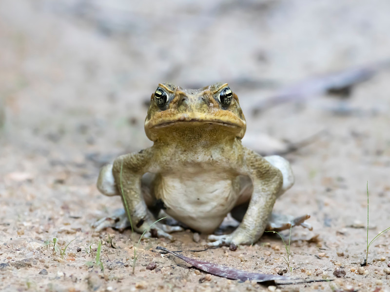 Cane Toad (introduced)