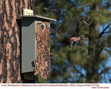 Lewis'WoodpeckersA&N77730c.jpg