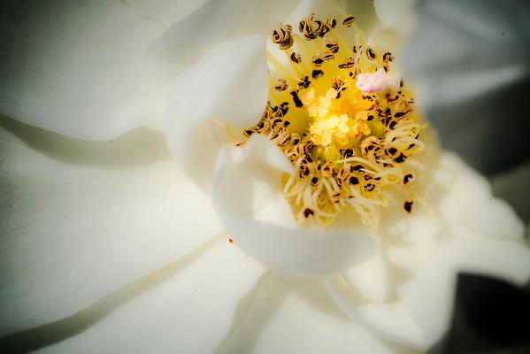 Wine Barn Roses April '20
