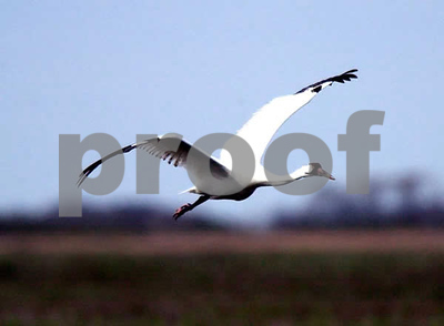 study-shows-changes-in-whooping-crane-migration