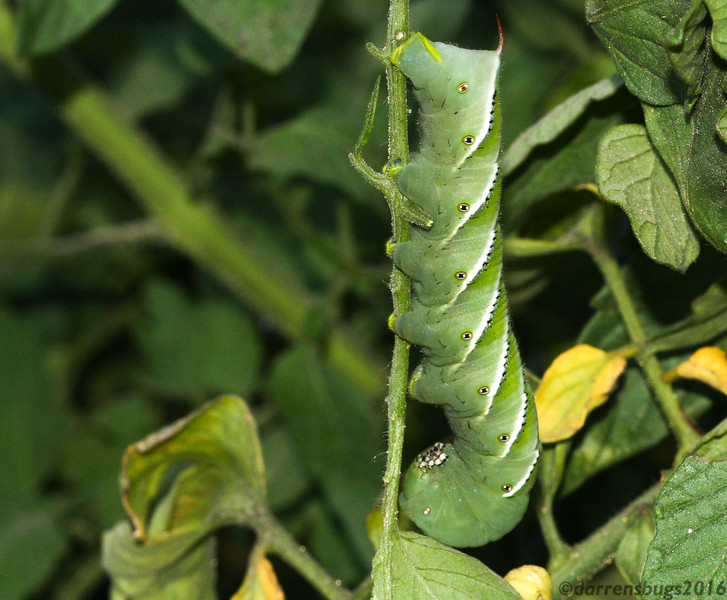 Tobacco Hornworm (Manduca sexta), the caterpillar of the Six-spotted Sphinx Moth, from Iowa. The straight white stripes distinguish it from its similar cousin, the Tomato Hornworm, which has V-shaped white markings.