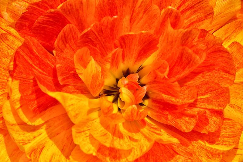 Sun Power Tulip in Gold and Orange
