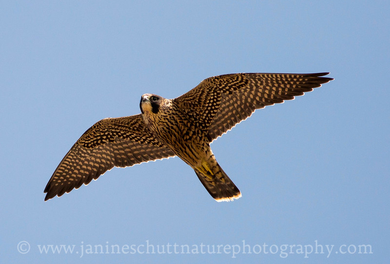 Juvenile female Peregrine Falcon flying over 1st Burroughs Mountain.