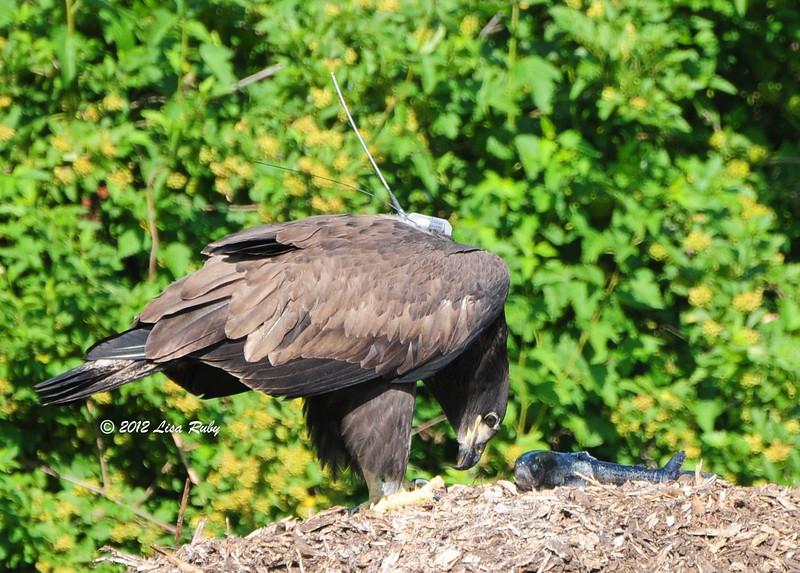 Juvenile Bald Eagle (D14) - 6/30/2012 -  Fish Hatcher, Decorah Iowa