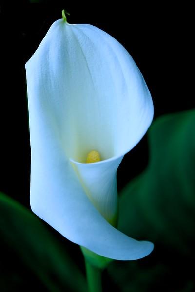 Steph's Calla Lily