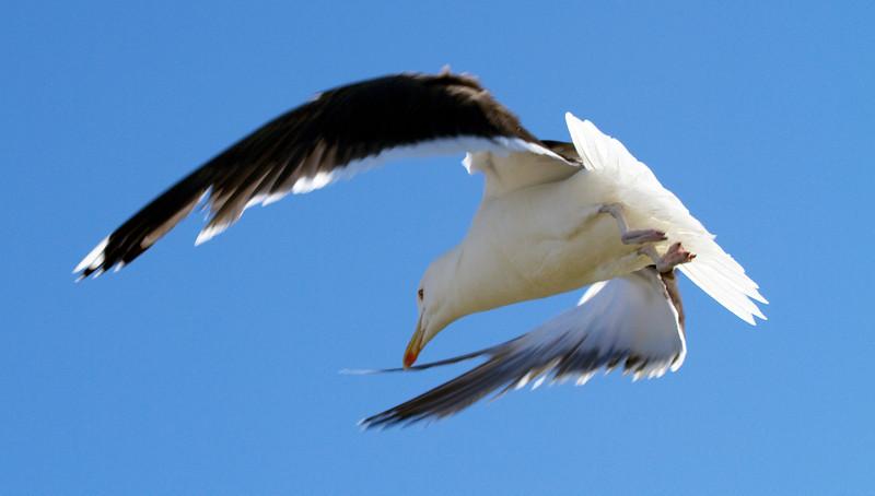 Mother seagull guarding her chicks on Martha's Vineyard
