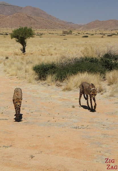Cheetah approaching us, Namib Carnivore Conservation centre