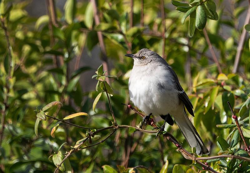 maybe a kingbird.jpg