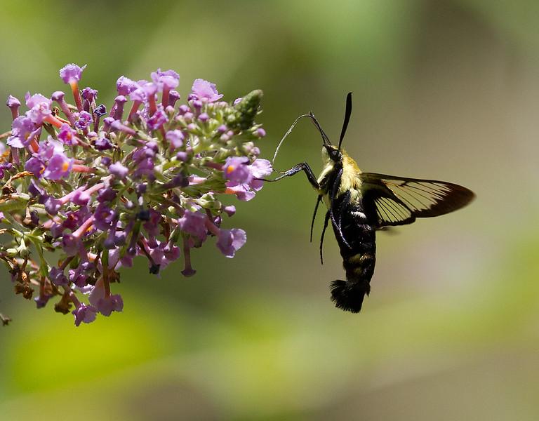 Hummingbird moth 1.jpg