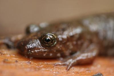 003 Seal salamander