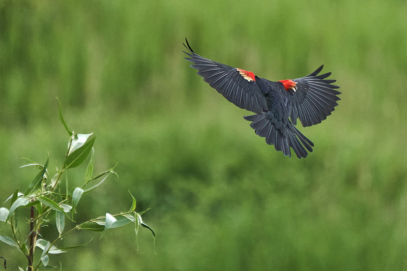 Red-Winged Blackbird in Jackson Wyoming