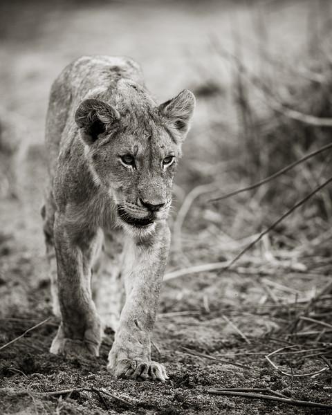 Prowling Lion Cub