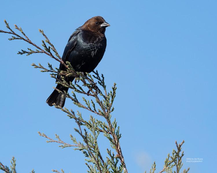 Brown-headed Cowbird, Standing Bear Lake, NE, USA, May 2018-1.jpg