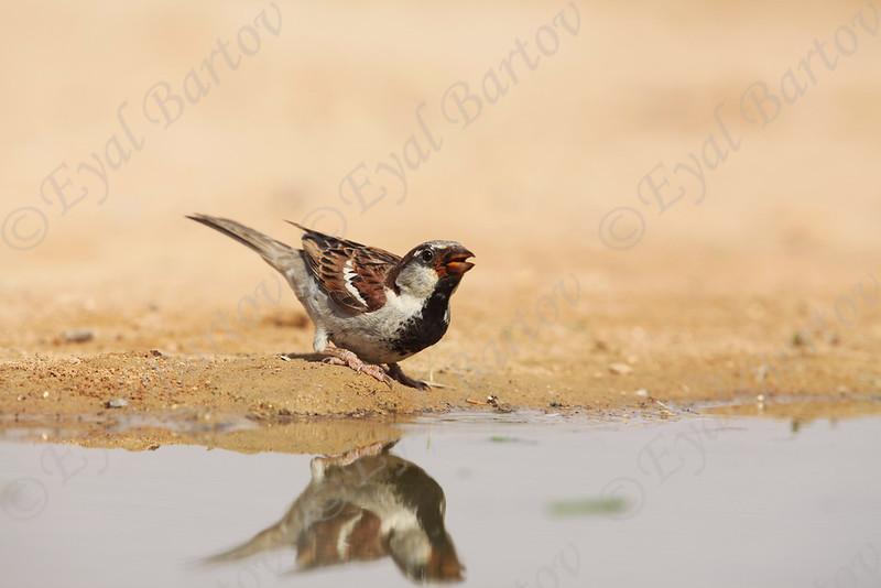 IMG_0205 House Sparrow.JPG