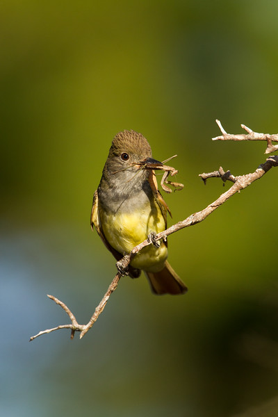 Great Crested Flycatcher with praying mantis.jpg