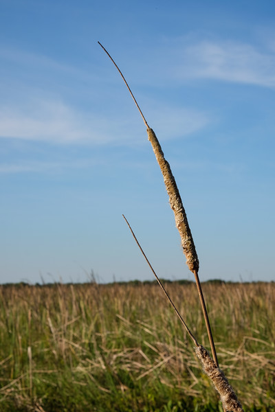 Cat Tail, Swamp NewOrleans Airboat Tours