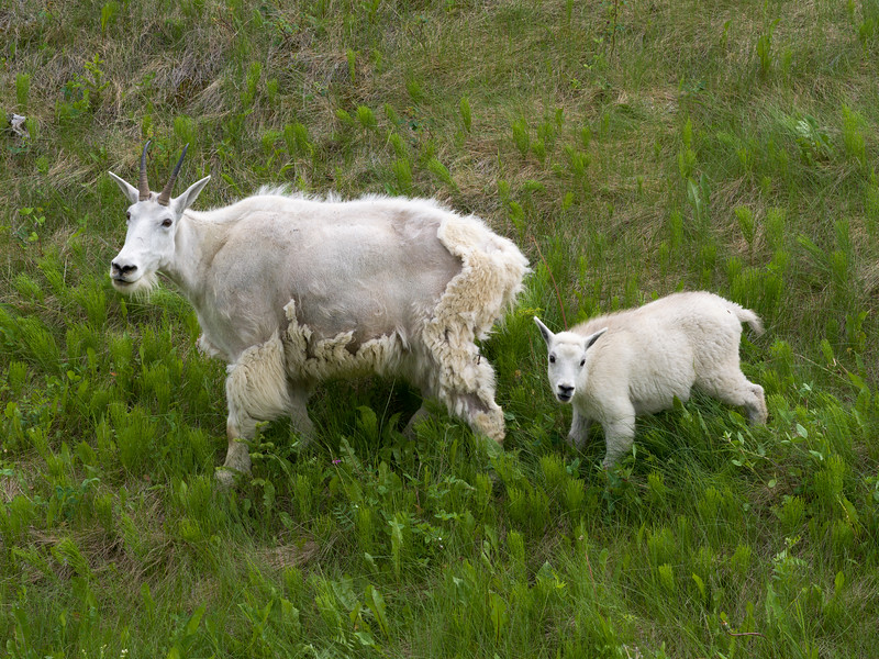High angle view of Mountain goat�(Oreamnos americanus) with its kid in field, Icefields Parkway, Jasper, Alberta, Canada