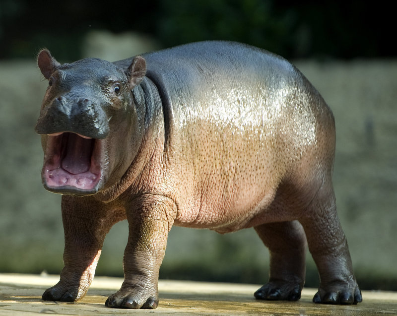 Description of . A baby hippo  (no name given yet)  is seen in its  enclosure at the Zoo in Berlin on November 1, 2011. The youngster born on October 23rd is the latest addition to the hippo population at zoological garden in the German capital and was unveiled to the public this morning.   ODD ANDERSEN/AFP/Getty Images