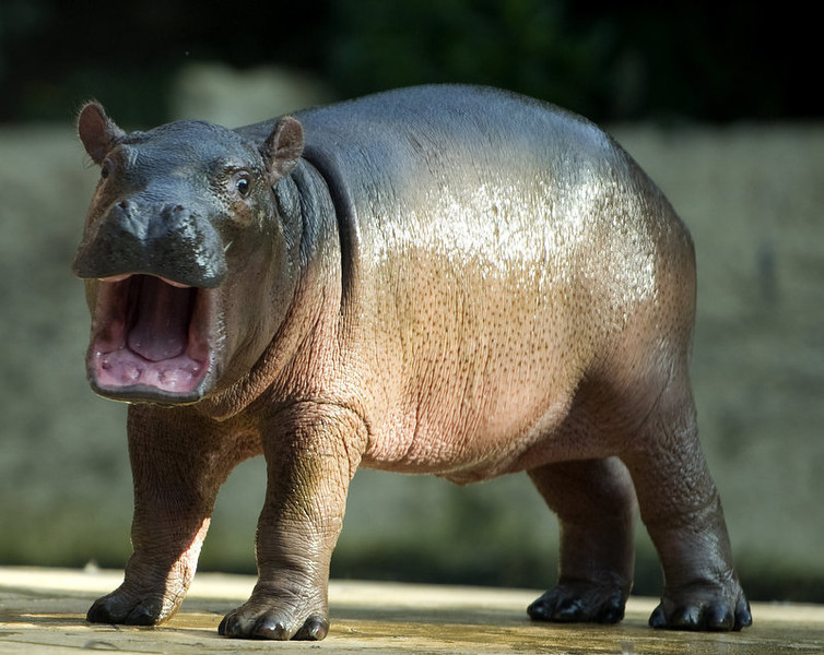 . A baby hippo  (no name given yet)  is seen in its  enclosure at the Zoo in Berlin on November 1, 2011. The youngster born on October 23rd is the latest addition to the hippo population at zoological garden in the German capital and was unveiled to the public this morning.   ODD ANDERSEN/AFP/Getty Images