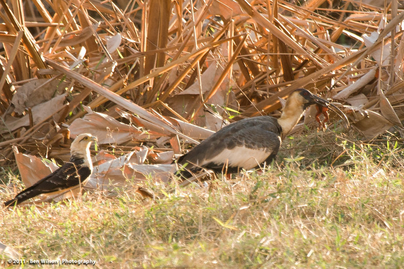 Yellow-headed Caracara trying to get food away from 2 Buff-necked Ibis