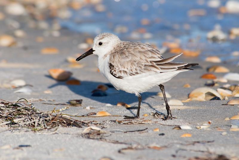 Sanderling - St. George Island State Park, FL - 02
