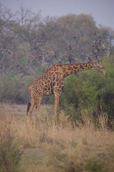 Giraffe, Selinda Explorer camp, Botswana
