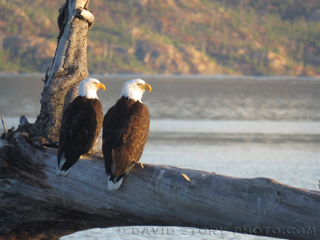 Bald Eagles (Haliaeetus leucocephalus) enjoy an evening on Skilak Lake, AK.