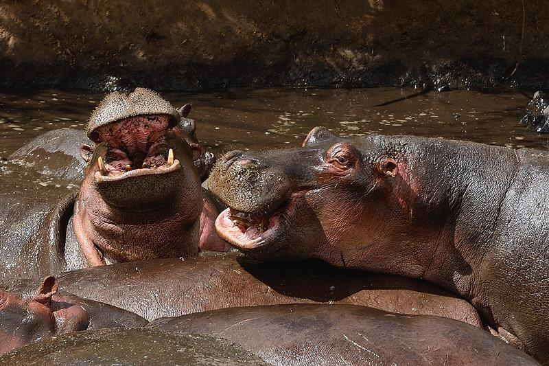 Hippos-altercation.jpg