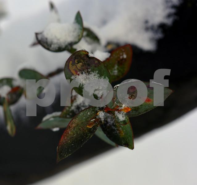 snow leaf 2.jpg