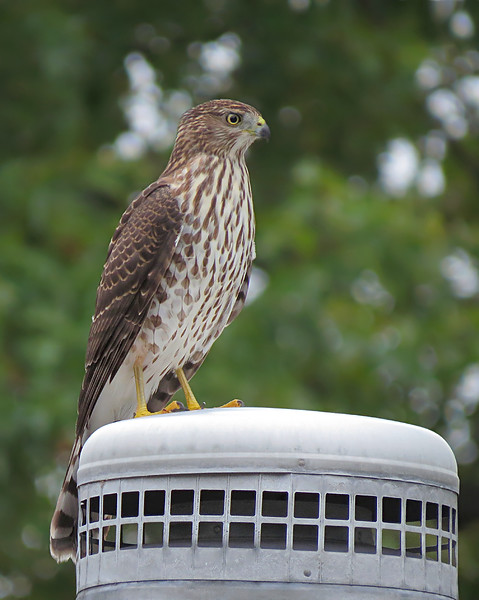 sx50_coopers_hawk_144.jpg