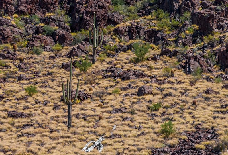 Huge Panther Peak Buffelgrass Patch #7