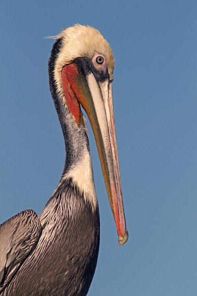 WB~Moss landing pelican1600.jpg