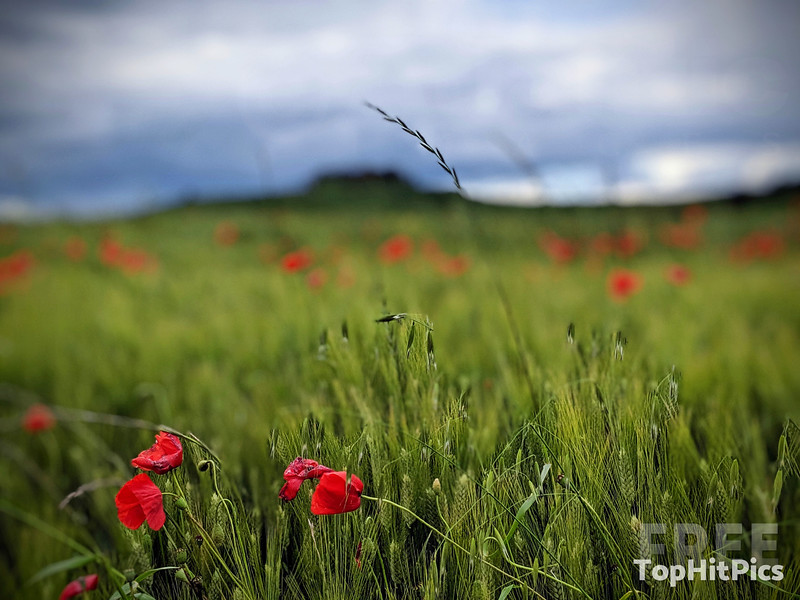The Hills and Poppies Of Tuscany in Monteroni D'Arbia, Italy