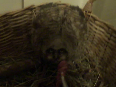 Great Horned Owlet Rescued  Videos
