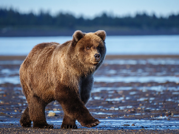 Wildlife Photographs - Grizzly Bears