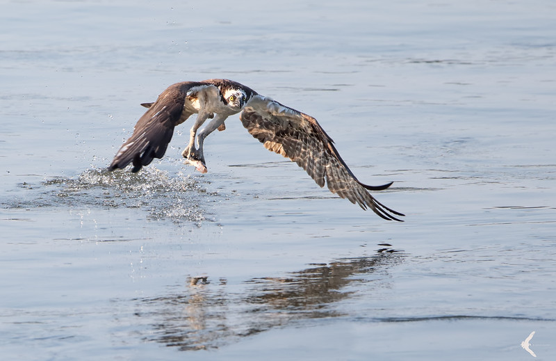 Osprey catching a fish on the Susquehanna River