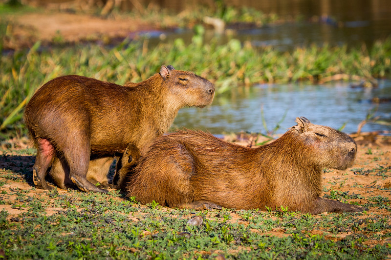capybara (Hydrochoerus hydrochaeris) Pantanal, Poconé, Brazil. Male and female adults with suckling young.