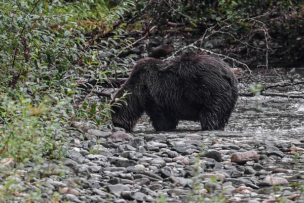 9-24-17 **Bella Coola - Large Female Grizzly