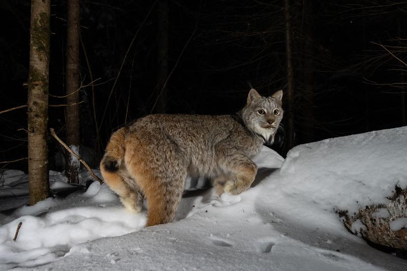 Lynx-9987.jpg