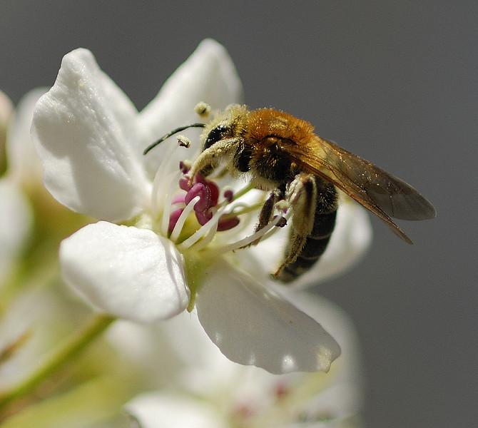 Bradford Bee.jpg
