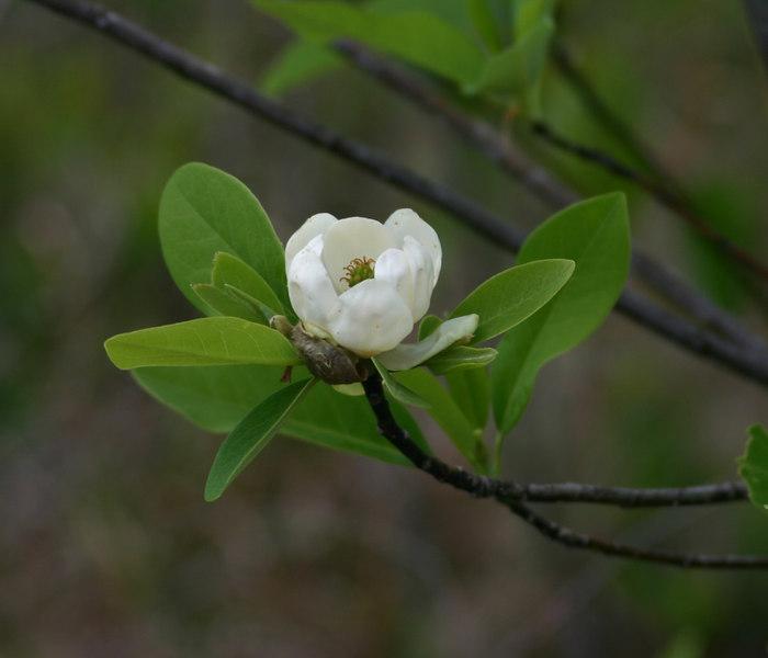 Magnolia virginica