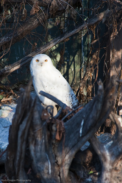 Snowy Owl, Calgary Zoo Nov. 14