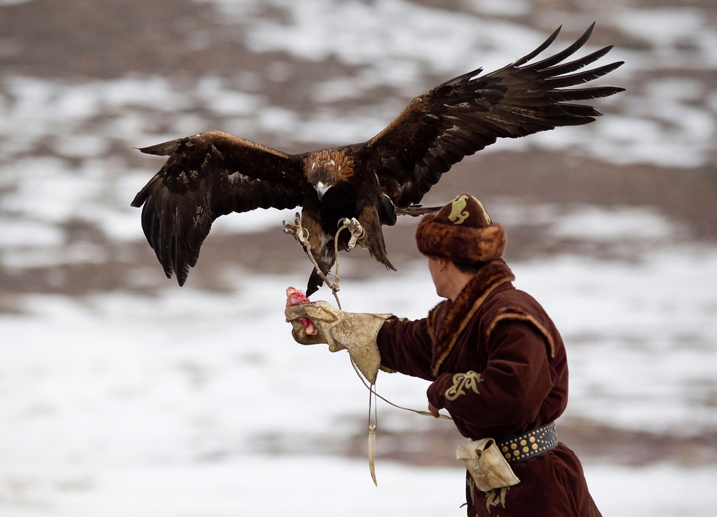 . A tamed golden eagle lands on the arm of a hunter during an annual hunting competition in Chengelsy Gorge, some 150 km (93 miles) east of Almaty February 22, 2013. Picture taken February 22, 2013.  REUTERS/Shamil Zhumatov